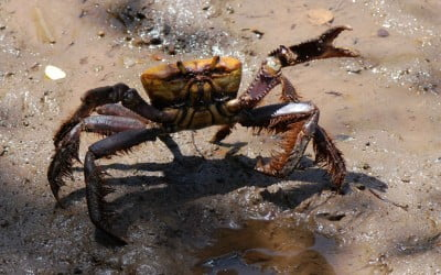 Parecer Técnico deve viabilizar pedido de licença a pescadores de caranguejo-uçá